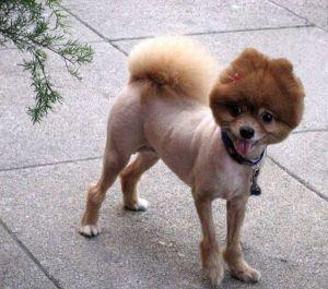worst_dog_haircuts_02